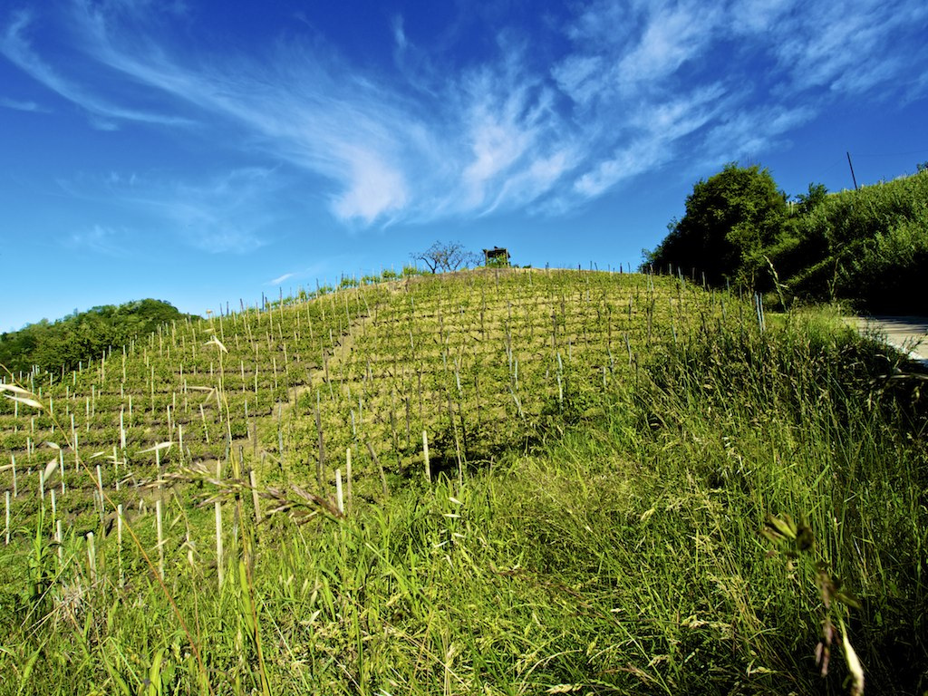 Vineyards of Santa Vittoria d'Alba