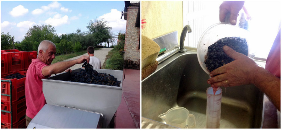 Italo once again dropping bunches of Dolcetto grapes into the crusher; testing samples of crushed Dolcetto grapes from the Rio Sordo vineyard.