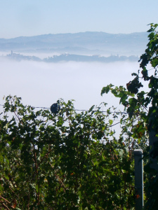 Fog in autumn and winter can create beautiful scenery when settled into vineyard lined valleys.