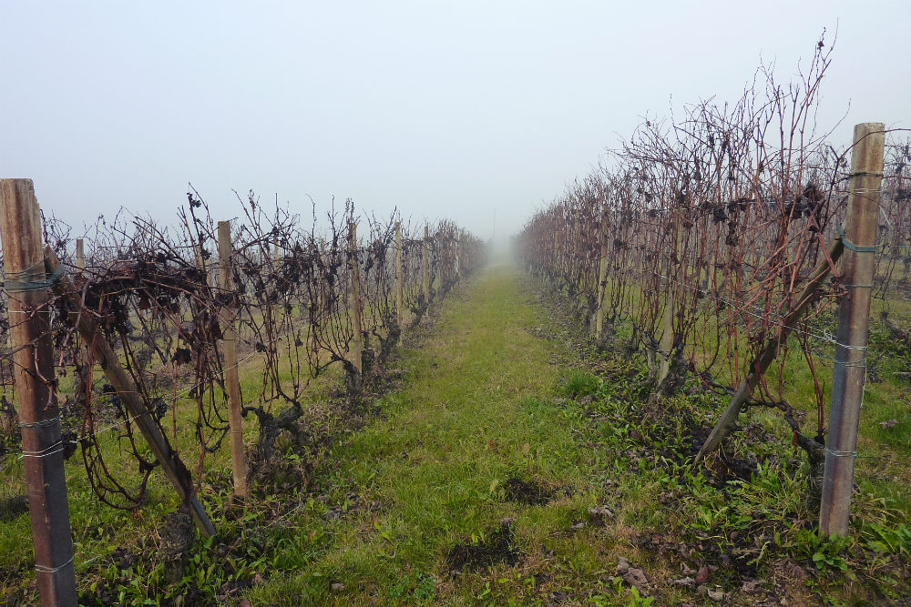 Alessandro Rivetto vineyards in the fog