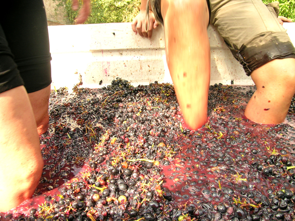 Stomping Barbera grapes