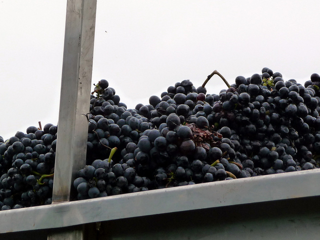 Nebbiolo. Photo from Blue Moon in Her Eyes, Creative Commons