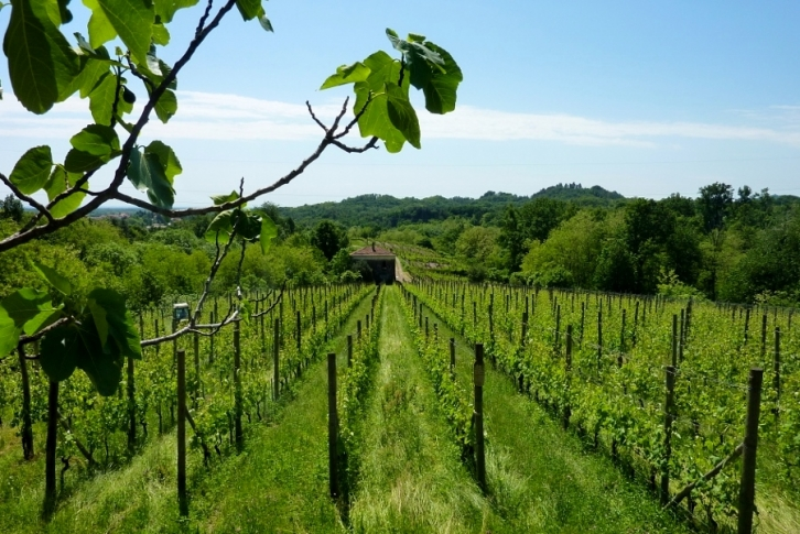 Le Piane vineyards, Guyot system