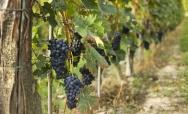 Festival of Wine in Monferrato - September 19-28, Casale Monferrato (AL)