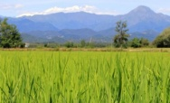Rice paddies of northern Piedmont